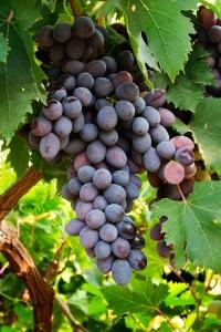 Burzin Grapes